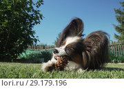 Купить «Beautiful dog breed Papillon gnaws spruce cone on lawn», фото № 29179196, снято 20 апреля 2019 г. (c) Юлия Машкова / Фотобанк Лори
