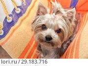Купить «Yorkshire Terrier in a hammock. The view from the top.», фото № 29183716, снято 27 августа 2018 г. (c) Элина Гаревская / Фотобанк Лори