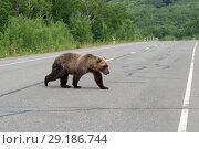 Купить «Бурый медведь переходит дорогу», фото № 29186744, снято 30 июля 2018 г. (c) А. А. Пирагис / Фотобанк Лори