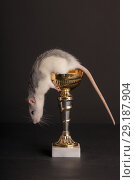 Купить «Domestic rat on a gold cup», фото № 29187904, снято 2 ноября 2012 г. (c) Argument / Фотобанк Лори