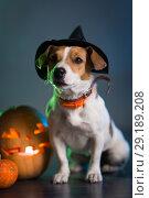 Купить «Dogl in costume for Halloween», фото № 29189208, снято 30 сентября 2018 г. (c) Типляшина Евгения / Фотобанк Лори