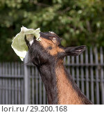 Купить «Коза стоит задрав голову и вытянув шею с капустным листом во рту. Крупный план», фото № 29200168, снято 26 сентября 2018 г. (c) Наталья Николаева / Фотобанк Лори