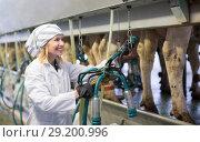 Купить «Farm worker in barn with cow milking machines», фото № 29200996, снято 17 июня 2019 г. (c) Яков Филимонов / Фотобанк Лори