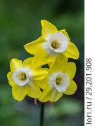 Купить «Желтый многоцветковый нарцисс», фото № 29201908, снято 19 мая 2018 г. (c) Ольга Сейфутдинова / Фотобанк Лори