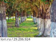Купить «Alley of pyramidal poplars, evening sun.», фото № 29206924, снято 22 июля 2017 г. (c) Акиньшин Владимир / Фотобанк Лори