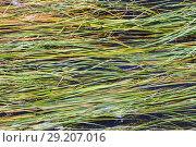 Купить «Algae on the water surface.», фото № 29207016, снято 9 августа 2017 г. (c) Акиньшин Владимир / Фотобанк Лори