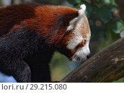 Купить «Red panda», фото № 29215080, снято 17 сентября 2018 г. (c) Stockphoto / Фотобанк Лори