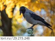 Купить «The hooded crow (Corvus cornix) against the background of autumn», фото № 29215248, снято 11 октября 2018 г. (c) Ольга Визави / Фотобанк Лори