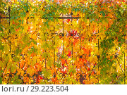Купить «Bright autumn floral background with leaves of wild grapes of yellow red purple green on a metal forged fence in a city park. Autumn mood, seasons», фото № 29223504, снято 7 октября 2018 г. (c) Светлана Евграфова / Фотобанк Лори