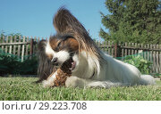 Купить «Beautiful dog breed Papillon gnaws spruce cone on lawn», фото № 29223708, снято 20 апреля 2019 г. (c) Юлия Машкова / Фотобанк Лори