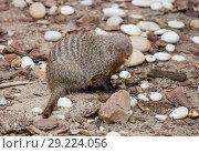 Купить «Полосатый мангуст.  Banded mongoose.», фото № 29224056, снято 10 октября 2018 г. (c) Галина Савина / Фотобанк Лори