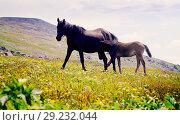 Купить «mare and stallion», фото № 29232044, снято 17 июля 2011 г. (c) Яков Филимонов / Фотобанк Лори
