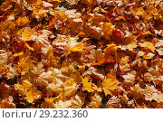 Купить «Background from autumn leaves of a maple in bright light of the sun», фото № 29232360, снято 13 октября 2018 г. (c) Anatoly Timofeev / Фотобанк Лори