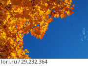 Купить «Background from orange and yellow autumn maple leaves and the blue bright sky», фото № 29232364, снято 13 октября 2018 г. (c) Anatoly Timofeev / Фотобанк Лори