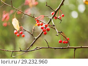 Купить «Дикие яблоки», фото № 29232960, снято 23 марта 2019 г. (c) Владимир Пойлов / Фотобанк Лори