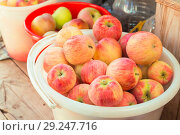 Vegetarian food. Harvesting useful ripe vitamin fruits. Freshly grown red apples in the garden in buckets. Стоковое фото, фотограф Светлана Евграфова / Фотобанк Лори