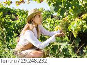 Купить «Female gathering harvest of white grapes», фото № 29248232, снято 13 сентября 2018 г. (c) Яков Филимонов / Фотобанк Лори