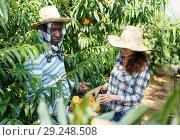 Купить «Gardeners picking ripe peaches», фото № 29248508, снято 12 июля 2018 г. (c) Яков Филимонов / Фотобанк Лори