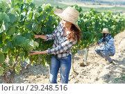 Купить «Woman controlling grapes ripening», фото № 29248516, снято 12 июля 2018 г. (c) Яков Филимонов / Фотобанк Лори