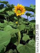 Купить «Sunflowers», фото № 29251588, снято 10 мая 2018 г. (c) age Fotostock / Фотобанк Лори