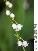 Купить «Lily of the valley closeup», фото № 29255708, снято 5 июня 2012 г. (c) Argument / Фотобанк Лори