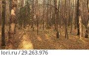 Купить «Autumn deciduous forest on clear day», видеоролик № 29263976, снято 21 июля 2019 г. (c) Володина Ольга / Фотобанк Лори