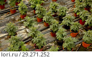 Купить «Picture of seedlings of tomatoes growing in pots in greenhouse», видеоролик № 29271252, снято 23 июля 2018 г. (c) Яков Филимонов / Фотобанк Лори