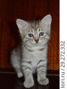 Серый котенок 3 месяца: эмоциональный портрет Gray kitten 3 months. Стоковое фото, фотограф Светлана Федорова / Фотобанк Лори