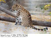 Купить «Дальневосточный леопард, или амурский леопард», фото № 29273524, снято 24 января 2016 г. (c) Галина Савина / Фотобанк Лори