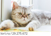 Купить «A domestic cat of British breed in your favorite house.», фото № 29275672, снято 24 января 2016 г. (c) Акиньшин Владимир / Фотобанк Лори