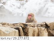 Купить «japanese macaque or snow monkey in hot spring», фото № 29277872, снято 7 февраля 2018 г. (c) Syda Productions / Фотобанк Лори