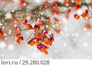 Купить «spindle or euonymus branch with fruits in winter», фото № 29280028, снято 11 ноября 2016 г. (c) Syda Productions / Фотобанк Лори