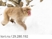 Купить «japanese macaque in snow at jigokudan monkey park», фото № 29280192, снято 7 февраля 2018 г. (c) Syda Productions / Фотобанк Лори