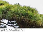 Купить «close up of green pine tree branch», фото № 29280372, снято 11 февраля 2018 г. (c) Syda Productions / Фотобанк Лори