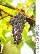 Купить «Гроздь винограда, сорт Одесский черный», фото № 29289236, снято 25 сентября 2018 г. (c) Юлия Бабкина / Фотобанк Лори