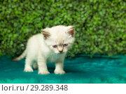 Funny little white kitten with blue eyes. Стоковое фото, фотограф Маргарита Бородина / Фотобанк Лори