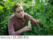Купить «Woman taking care of chinese cucumber», фото № 29289412, снято 22 сентября 2019 г. (c) Яков Филимонов / Фотобанк Лори