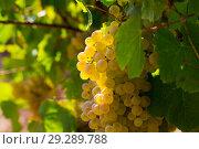 Купить «Ripe white grapes in vineyard», фото № 29289788, снято 21 марта 2019 г. (c) Яков Филимонов / Фотобанк Лори