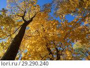 Купить «Осенний лес.  Верхушки деревьев с жёлтой листвой на фоне синего неба», эксклюзивное фото № 29290240, снято 15 октября 2018 г. (c) Игорь Низов / Фотобанк Лори