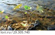 Купить «Водное растение стрелолист на берегу реки», видеоролик № 29305740, снято 13 августа 2016 г. (c) Евгений Ткачёв / Фотобанк Лори