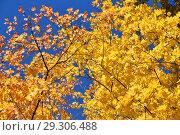 Купить «Золотая осень. Желтые кленовые листья на фоне неба», эксклюзивное фото № 29306488, снято 11 октября 2018 г. (c) lana1501 / Фотобанк Лори