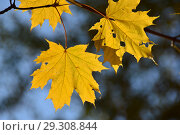 Золотая осень. Ярко-желтые кленовые листья на ветке. Стоковое фото, фотограф lana1501 / Фотобанк Лори