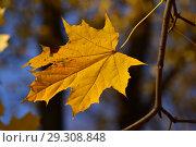 Купить «Желтый кленовый лист на ветке. Золотая осень», эксклюзивное фото № 29308848, снято 18 октября 2018 г. (c) lana1501 / Фотобанк Лори