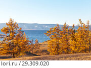 Купить «Lake Baikal. Olkhon Island. Beautiful yellowed larch forest on the shores of the Small Sea at sunset», фото № 29309020, снято 13 октября 2018 г. (c) Виктория Катьянова / Фотобанк Лори