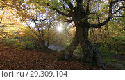 Купить «Солнечный свет сквозь ветви деревьев и буковое дерево в осеннем лесу», видеоролик № 29309104, снято 13 октября 2018 г. (c) Яна Королёва / Фотобанк Лори