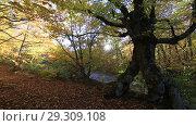 Купить «Солнечный свет сквозь осенний лес и старый раскидистый бук», видеоролик № 29309108, снято 13 октября 2018 г. (c) Яна Королёва / Фотобанк Лори
