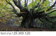 Купить «Большое буковое дерево в лесу», видеоролик № 29309120, снято 13 октября 2018 г. (c) Яна Королёва / Фотобанк Лори