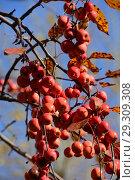 Купить «Много красных яблок на ветках осенью», эксклюзивное фото № 29309308, снято 18 октября 2018 г. (c) lana1501 / Фотобанк Лори