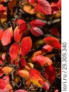 Купить «Кизильник блестящий с красными листьями и черными ягодами осенью», эксклюзивное фото № 29309340, снято 18 октября 2018 г. (c) lana1501 / Фотобанк Лори