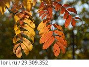 Купить «Золотая осень. Веточки с красно-желтыми листьями рябины», эксклюзивное фото № 29309352, снято 18 октября 2018 г. (c) lana1501 / Фотобанк Лори